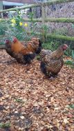 GOLD LACED ORPINGTONS LARGE FOWL hatching eggs.