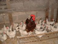 RHODE ISLAND RED X LIGHT SUSSEX HATCHING EGGS