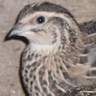 JAPANESE QUAIL FOR SALE FEMALES £6.00 EACH JUST STARTED LAYING